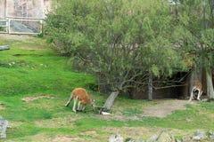 kängurur Royaltyfria Bilder