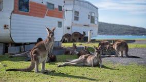 Kängurur framme av havet Royaltyfri Bild