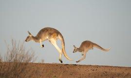 Kängurur i den Sturt nationalparken Arkivbild