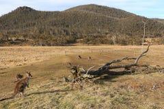 Kängurur i en paddock - Orroral dal Arkivbilder