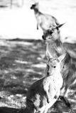 Kängurur på Cleland djurliv parkerar Royaltyfria Foton
