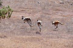Kängurur på körningen Royaltyfria Bilder