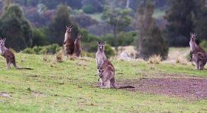 Kängurur på solnedgången Eurobodalla nationalpark australasian Arkivfoton