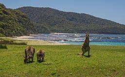 Kängurur på stranden royaltyfri bild