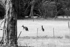 kängurur arkivbilder