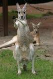 Kängurus Lizenzfreies Stockfoto