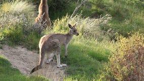 Kängurus - australische wild lebende Tiere stock video footage