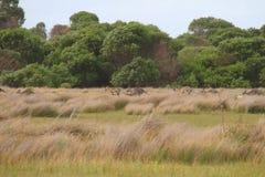 Kängurus in den Wiesen stockfotografie
