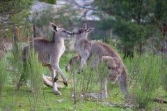 Kängurus in der Liebe lizenzfreies stockbild