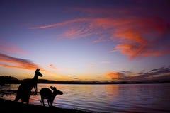 Kängurus gegen einen Sonnenuntergang am See Lizenzfreie Stockfotos