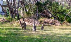 Kängurus im wilden Stockfotografie