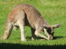 Kängurusymbol av Australien i processen av att äta arkivbilder