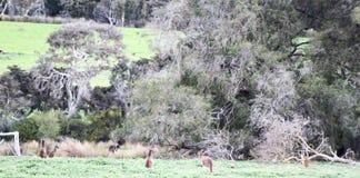 Känguruträumen Lizenzfreie Stockfotografie