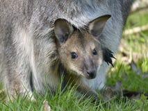 Känguruunge i facket Arkivfoton