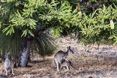 Känguruunge känguru och dricka Royaltyfri Fotografi