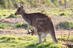 känguruunge kängurumoder fotografering för bildbyråer