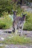 känguruunge moder Arkivfoto