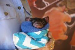 känguruunge ung Tasmanian jäkel royaltyfri fotografi