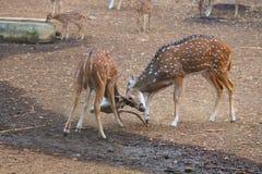 Kär kamp - djurliv Royaltyfria Bilder