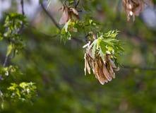 Kärna ur fröskidor som hänger på lönnträdfilial Royaltyfri Fotografi