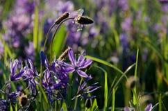 Kärna ur huvud stiger ovanför lila-blåtten av camas liljor i en äng i Beacon Hill parkerar Royaltyfri Fotografi