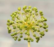 Kärna ur huvudet av en Allium Royaltyfria Foton