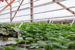 Kärna ur i växthus kärna ur växtväxthuset kärna ur i växthusbegrepp växtplanta i växthus ny livstid fotografering för bildbyråer