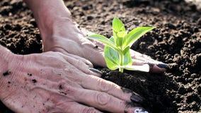 Kärna ur planta Den kvinnliga handen planterar den unga växten i fertil jord arkivfilmer