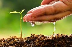 Kärna ur planta, manlig hand som bevattnar det unga trädet Arkivbilder