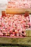 Kärna ur potatisar med groddar, når du har bearbetat från den Colorado skalbaggen Förberedelse för att plantera potatisar säsongs Royaltyfri Foto