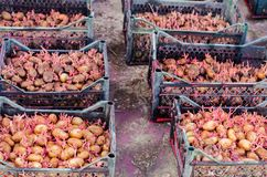 Kärna ur potatisar med groddar, når du har bearbetat från den Colorado skalbaggen Förberedelse för att plantera potatisar säsongs Royaltyfria Foton