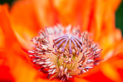 Kärnan av den brännheta röda blommamakroen Mycket closeup Arkivfoto