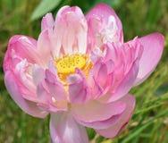 Kärnan av en lotusblomma royaltyfri foto