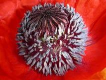 Kärnan av vallmo, i ljusa röda kronblad Royaltyfri Fotografi