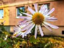 kärnar ur den blomstra blomman för bakgrund solrosen Royaltyfria Bilder