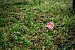 kärnar ur den blomstra blomman för bakgrund solrosen Arkivfoto