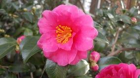 kärnar ur den blomstra blomman för bakgrund solrosen Arkivbild