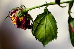 kärnar ur den blomstra blomman för bakgrund solrosen Royaltyfri Bild