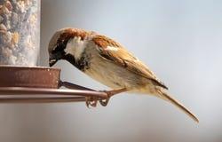 Kärnar ur den unika bruna färgrika fågeln för den ursnygga sparven som äter frö från en fågel, förlagemataren under sommar i Mich Royaltyfri Bild