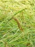 Kärnar ur guld- ris för korn Arkivbilder