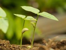 Kärnar ur liten grön växt som två växer från fertil jord med groende Tillväxt- och miljöbegrepp Royaltyfri Fotografi