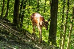 Kärt och lisma i en skog Royaltyfri Fotografi
