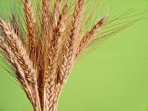 Kärve av korn Arkivfoton
