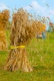 Kärve av sugrör kornavkastning Fotografering för Bildbyråer