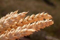 Kärve av vete under solen Arkivbild