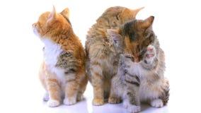 Kätzchen stock footage