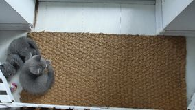 Kätzchen auf einer Türmatte stock video footage