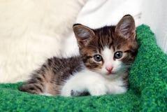 Kätzchen auf grüner Decke Stockfotografie