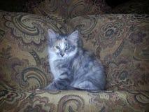 Kätzchen auf Tan Paisley Couch Stockfoto
