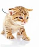 Kätzchen auf weißem Hintergrund Stockbilder